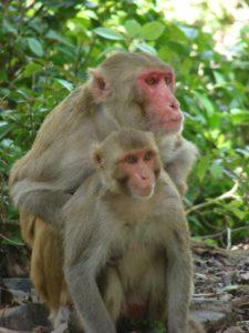 Monkeys Mannwest